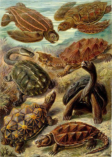 Schildpadden, Ernst Haeckel
