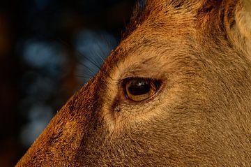 close-up van een damhert van Yvonne van der Meij