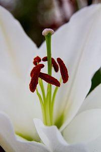 Close-up van een witte lelie van Schram Fotografie