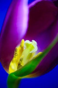 Tulpenblütenmakro von Anette Jäger