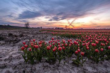 Tulpenveld 3 Ter Hole, Zeeland, Nederland van Mayee Riemens