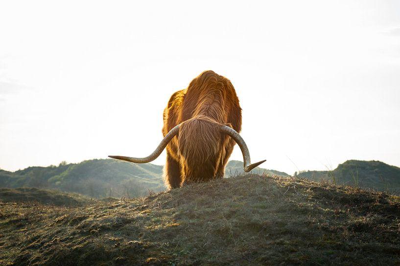 Schotse hooglander met tegenlicht van Fotografie Egmond
