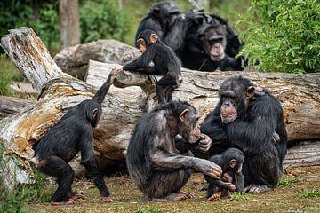 Familie chimpansee van gwen van Mossevelde
