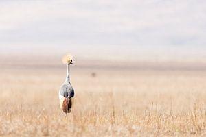 Kraanvogel in open veld