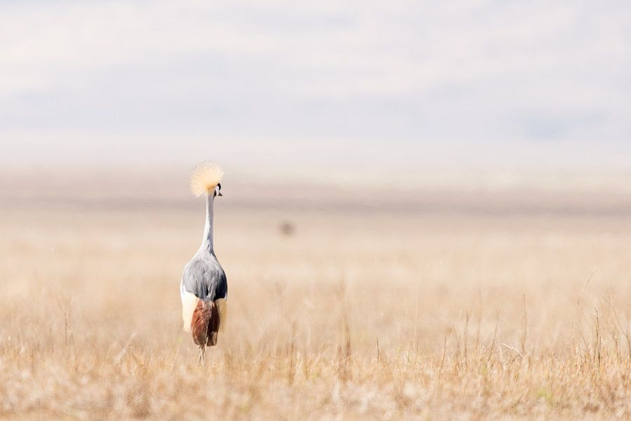 Kraanvogel in open veld van Tom van de Water