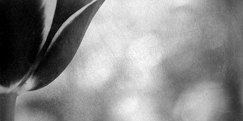 TULIP - BLACK AND WHITE
