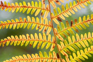Herbstliche Farben in einem Farnblatt von Ron Poot