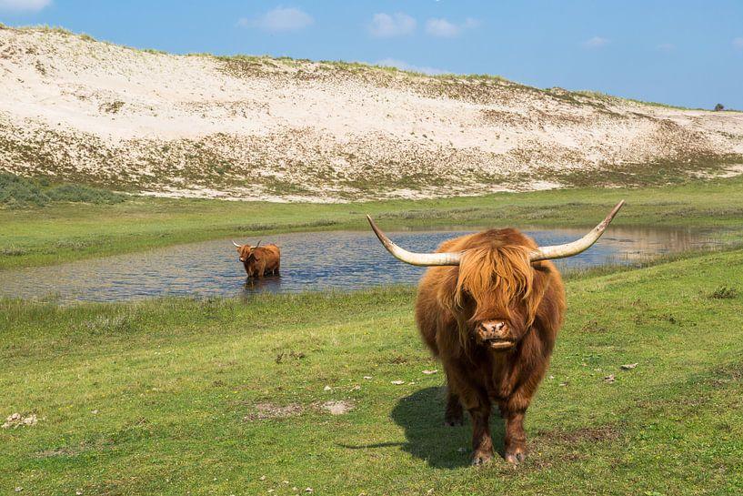 Twee blonde Schotse Hooglanders in de duinen van Peter Leenen