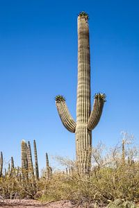 ARIZONA Saguaro Kaktus