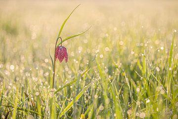 Fleur de vanneau sauvage (Fritillaria meleagris) sur Onno Wildschut