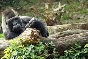 Luie Gorilla