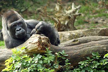 Luie Gorilla van