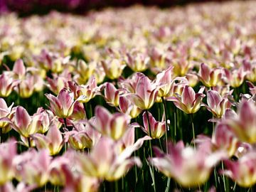 Tulpen von Thijs Schouten