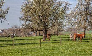 Bloesem in Epen Zuid-Limburg