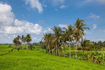 Schöne Aussicht auf den balinesischen grünen Reis, der auf tropischen Reisterrassen wächst. von Tjeerd Kruse