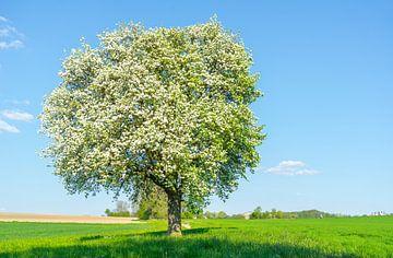 Bloeiende fruitboom van Achim Prill