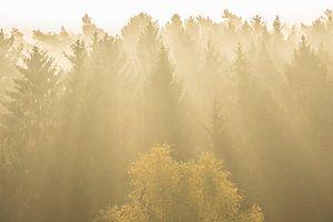 Naaldbomen in tegenlich van