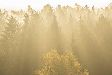 Naaldbomen in tegenlich van Elroy Spelbos