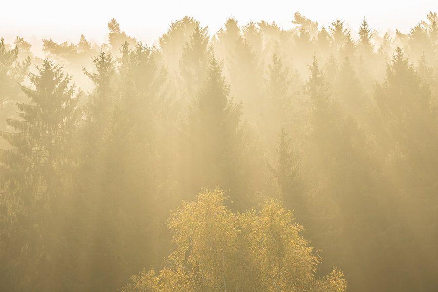 Naaldbomen in tegenlich