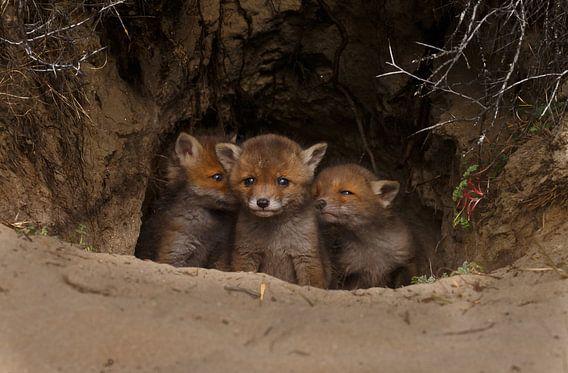Red fox cubs. von Menno Schaefer