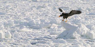 Stellers zeearend op drijvend ijs van Harry Eggens