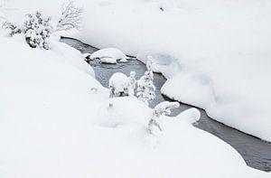 Waterspreeuw (Cinclus cinclus) in de winter
