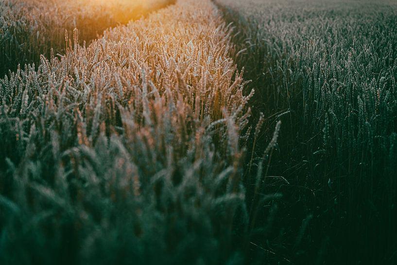 Graanveld in avond zonlicht van Fotografiecor .nl