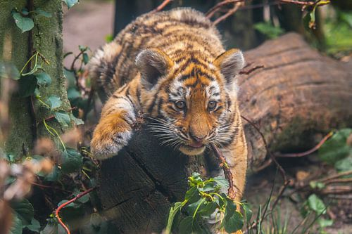 Jonge Siberische tijger
