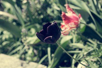 zwarte tulp von Valqueira van der Does