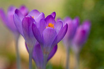 Pastel paarse crocus in het groen von Jani Moerlands
