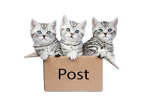 Drei junge Silber Tabby Kätzchen in einem Box