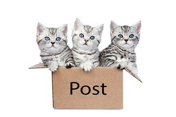 Drie jonge katten in een doos met witte achtergrond van Ben Schonewille