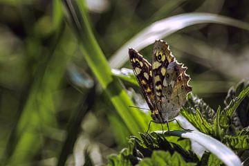 Schmetterling auf Ziergras von Christian van Lent