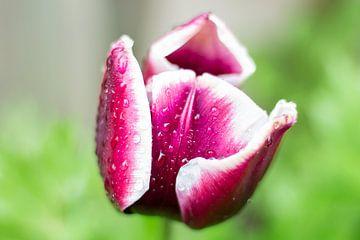 Lila/rot/weiße Tulpe kurz nach dem Regen von Ton van Waard - Pro-Moois