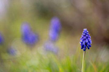 Blauwe Druifjes van Arjan Ploeg