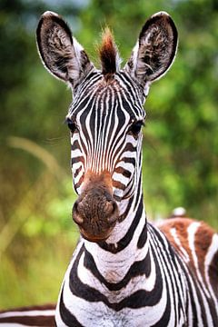 Junges Zebra in Afrika, Uganda von W. Woyke