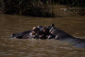 Nijlpaard in St. Lucia