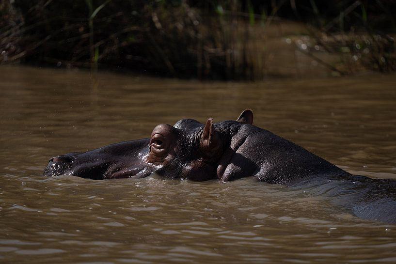 Nijlpaard in St. Lucia van Sander Huizinga