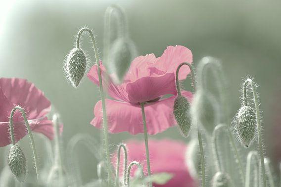 Rosa Mohnblüten Zeit von Tanja Riedel
