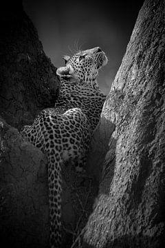 Luipaard in black & white van YvePhotography