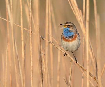 De zingende Blauwborst van Benjamin Simmelink