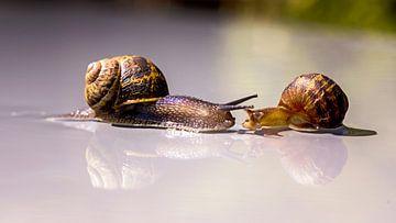 een toevallige ontmoeting tussen twee slakken, is de liefde in hun huisjes? van Studio de Waay