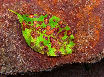 Currantly 2 (Herfstblad van een Krentenboom) van Caroline Lichthart