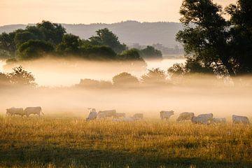 Kühe im Morgennebel von Joke Beers-Blom