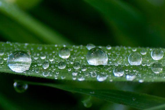 Regendruppels op een grasspriet