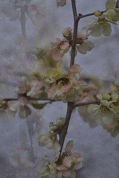 Spring -  kweepeer bloesem van Christine Nöhmeier