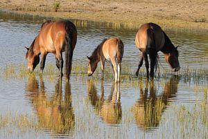 Exmoor ponies    en spiegelbeeld
