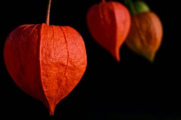 Lampionblumen vor dunklem Hintergrund von Ulrike Leone