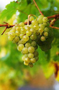 Weintrauben reif zur Ernte von