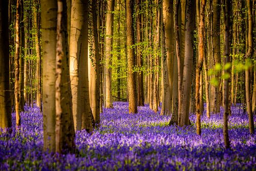 Spring in Hallerbos -  The tree in the middle